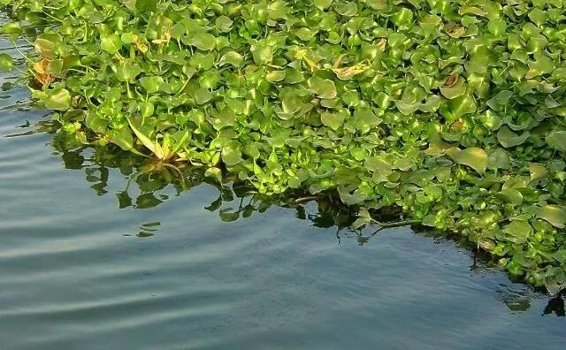 水葫芦藤曼